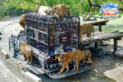 cong-vien-sriracha-tiger-zoo